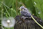 young Blue Tit sitting on tree stump, Parus caeruleus