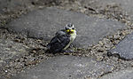 young Blue Tit sitting on ground eye contact, Parus caeruleus
