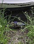 Blue Tit feeding chick before car, Parus caeruleus