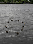 Greylag Geese form ring on water, Anser anser