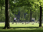 peoples and Greylag Geese at lake Alster