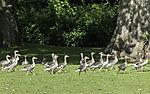 Greylag Geese at lake Alster, Anser anser