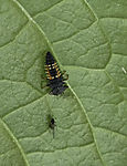 larva of Ladybird with Plant Louse, Coccinellidae, Aphidoidea