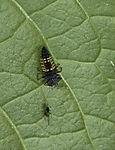 Larve des Marienkäfers und Blattlaus, Coccinellidae, Aphidoidea