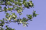 blühende Gewöhnliche Scheinakazie , Robinia pseudoacacia