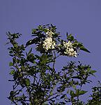 Robinia tree blossoms, Robinia pseudoacacia