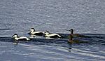 Common Eider Ducks, Somateria mollissima