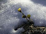 flowering Coltsfoot in snow; Tussilago farfara
