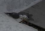 Herring Gulls with fish slaughter, Larus argentatus