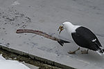 Great Black-backed Gull with fish slaughter, Larus marinus
