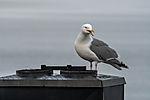 Herring Gull on chimney, Larus argentatus
