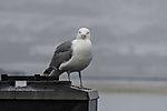 Herring Gull on chimney eye contact, Larus argentatus