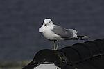 Common Gull in wind, Larus canus