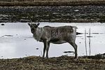 Reindeer at sea female eye contact, Rangifer tarandus