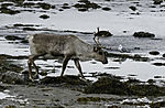 Rentier und Sturmmöwe am Meer, Rangifer tarandus, Larus canus