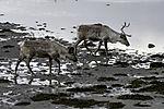 Rentier Weibchen und Kalb am Meer, Rangifer tarandus