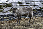 vorjähriges Rentierkalb am Meer Blickkontakt, Rangifer tarandus