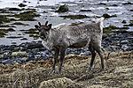last years Reindeercalf at sea eye contact, Rangifer tarandus