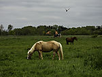 Horses and Cows on pasture