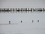 Stockenten suchen Wattenmeer nach Futter, Anas platyrhynchos