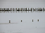 Mallards looking for food in tidal sea, Anas platyrhynchos