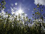 strahlende Sonne und blühendes Rapsfeld, Brassica napus