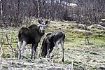 Moose female with last years calf eye contact, Alces alces