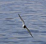 Austernfischer im Flug, Haematopus ostralegus