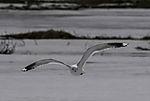 Sturmmöwe im Flug, Larus canus