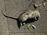 tote Wanderratte auf Fußweg, Rattus norvegicus