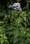 Rispige Flammenblume mit Regentropfen, Phlox paniculata
