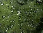 Regentropfen auf Blattoberfläche vom Frauenmantel, Alchemilla vulgaris