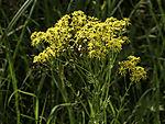 Jakobs-Greiskraut, Jacobaea vulgaris