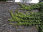 Wilder Wein an Mauer; Parthenocissus sp.