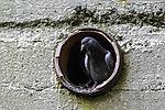 Stadttaube in Nisthöhle im Bunker, Columbidae