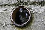 Stadttauben in Nisthöhle im Bunker Blickkontakt, Columbidae