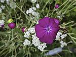 Kronen-Lichtnelke Blüte, Silene coronaria