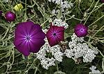 Kronen-Lichtnelke Blüten, Silene coronaria