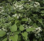 Gewöhnliche Waldrebe, Clematis vitalba
