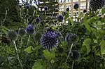 Wild Karde mit Dunkler Erdhummel und Honigbiene, Dipsacus sylvestris, Bombus terrestris, Apis mellifera