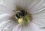 Dunkle Erdhummel mit Pollen in Malvenblüte, Bombus terrestris, Malva sp.