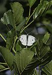Kohlweißling auf Baum, Pieris sp.