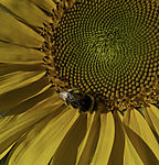 Dunkle Erdhummel auf Sonnenblume, Bombus terrestris, Helianthus sp.
