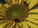 Dunkle Erdhummeln auf Sonnenblume, Bombus terrestris, Helianthus sp.