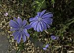 Gewöhnliche Wegwarte Blüten, Cichorium intybus