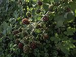 Brombeeren werden reif, Rubus sp.