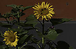 Sonnenblumen mit Hummeln am Straßenrand