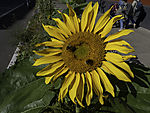 Sonnenblume mit Hummeln am Straßenrand