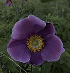 violette Blüte mit Staubgefäße