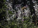 Weidenröschen Blüten und Samen, Epilobium sp.